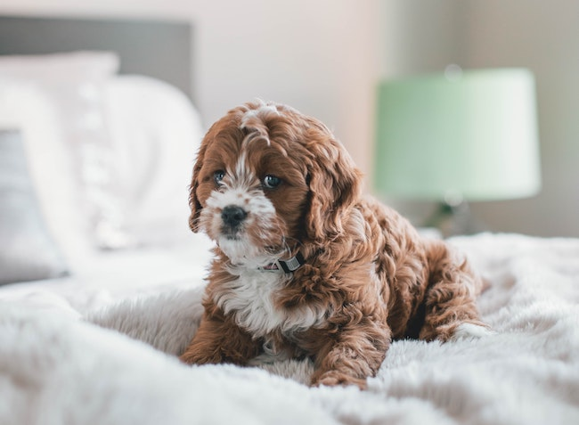 A cute brown dog on top of a bed with the Best Mattress Protector, Australia